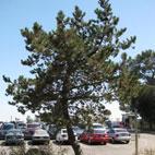 George Harrison Memorial Tree Killed by Infestation of ... Beetles